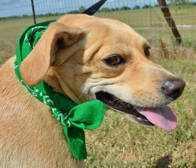 Border Terrier-Labrador Retriever Mix Dog For Adoption in Liverpool, TX
