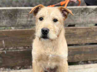 border terrier lab mix