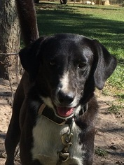 Border Collie Mix Dog For Adoption in Slidell, LA
