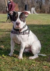 American Bulldog-American Staffordshire Terrier Mix dog