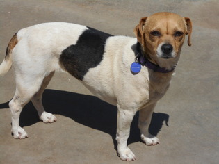 Doxle Dog For Adoption in Apple Valley, CA, USA