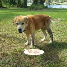 Golden Retriever Mix Dog For Adoption in Naples, FL, USA