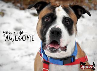 American Staffordshire Terrier Mix Dog For Adoption in Negaunee, MI, USA