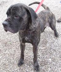 View Ad Mastiff Mix Dog For Adoption Near Texas Von Ormy Usa Adn