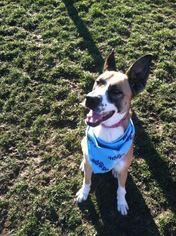 German Shepherd Dog Mix Dog For Adoption in Windsor, CA