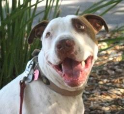 American Bulldog-Pointer Mix Dog For Adoption in La Honda, CA, USA