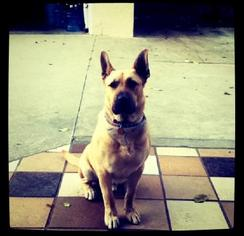 German Shepherd Dog Mix Dog For Adoption in Mission Viejo, CA