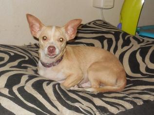 Chihuahua Dog For Adoption in San Antonio, TX, USA