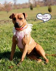 Bullboxer Pit Dog For Adoption in Lee's Summit, MO, USA