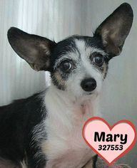 Chihuahua Dog For Adoption in San Antonio, TX