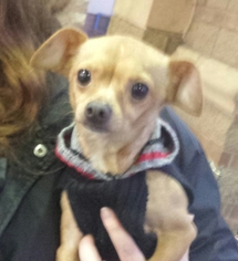 Chihuahua Dog For Adoption in Porter Ranch, CA, USA