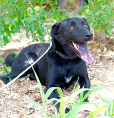 Australian Kelpie Mix Dog For Adoption in San Antonio, TX, USA