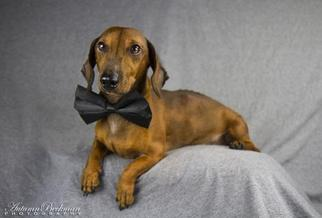 Dachshund Dog For Adoption in Pearland, TX