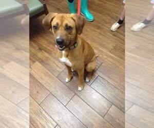 Small Redbone Coonhound