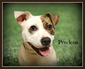 American Staffordshire Terrier Mix Dog For Adoption in Doylestown, PA, USA