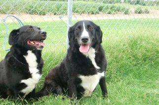Border Collie Dog For Adoption in Tunica, MS, USA