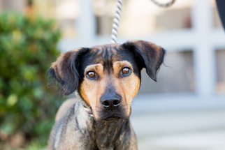 View ad black and tan coonhound german shepherd dog mix dog for black and tan coonhound german shepherd dog mix dog for adoption in el cajon solutioingenieria Images