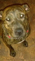 American Pit Bull Terrier Mix Dog For Adoption in Rockaway, NJ, USA