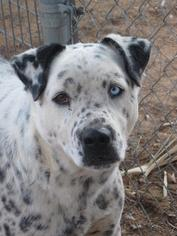 Dalmatian Dog For Adoption in Las Cruces, NM