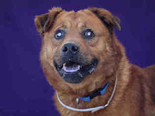 View Ad: Chow Chow-German Shepherd Dog Mix Dog for Adoption