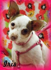 Jack Chi Dog For Adoption in Anaheim Hills, CA, USA