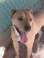 American Pit Bull Terrier Dog For Adoption in Las Cruces, NM, USA