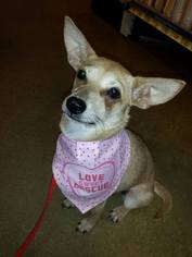 Chiweenie Dog For Adoption in Social Circle, GA, USA