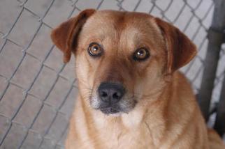 Labrador Retriever Dog For Adoption in Crossville, TN, USA