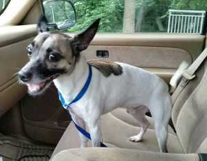 View Ad Italian Greyhound Rat Terrier Mix Dog For Adoption North