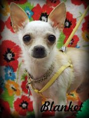 Chihuahua Dog For Adoption in Anaheim Hills, CA, USA