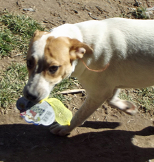 Mutt Dog For Adoption in Peralta, NM, USA
