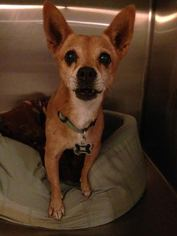 Chihuahua-Shiba Inu Mix Dog For Adoption in Apple Valley, CA, USA