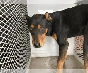 Doberman Pinscher Dogs for adoption in Bakersfield, CA, USA