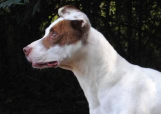 American Pit Bull Terrier-Pointer Mix Dog For Adoption in Anniston, AL, USA