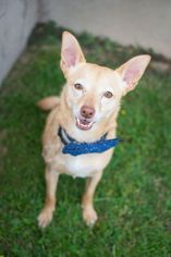 Chihuahua Mix Dog For Adoption in Baltimore, MD, USA