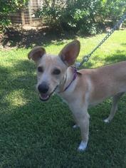 Blue Lacy-Labrador Retriever Mix Dog For Adoption in Tomball, TX, USA