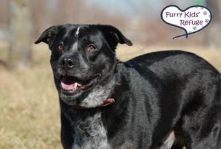 Sheprador Dog For Adoption in Lee's Summit, MO, USA