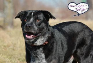 Sheprador Dog For Adoption in Lee's Summit, MO