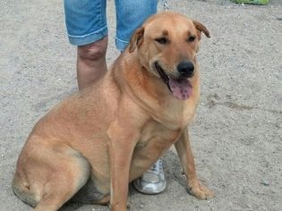 Chinese Shar-Pei Mix Dog For Adoption in Golden Valley, AZ, USA