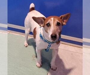 Jack Russell Terrier Dogs for adoption in Walnutport, PA, USA