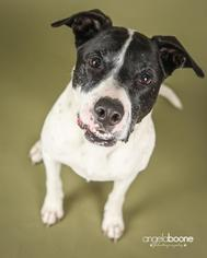 American Pit Bull Terrier-Pointer Mix Dog For Adoption in Shakopee, MN