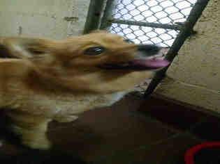 View Ad Cardigan Welsh Corgi Pomeranian Mix Dog For Adoption North