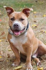 American Pit Bull Terrier Dog For Adoption in Junction Cityu, OR, USA