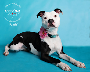 American Pit Bull Terrier Mix Dog For Adoption in Armonk, NY