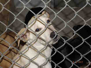 black shepherd /black lab mix Mix Dog For Adoption in Tulsa, OK, USA
