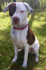 Bullypit Dog For Adoption in Churchville, NY, USA