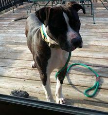American Bulldog Mix Dog For Adoption in Rockaway, NJ, USA