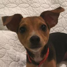 Puppyfinder Com American Rat Pinscher Dogs For Adoption Near Me In