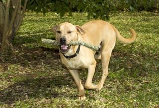 Labrador Retriever Mix Dog For Adoption in Santa Fe, TX, USA