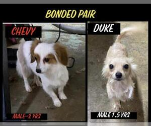 Dameranian Dogs for adoption in Columbia, TN, USA